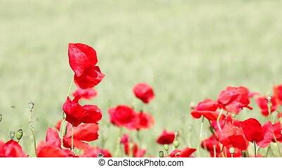 pavot, sur, souffler, fleurs, vent