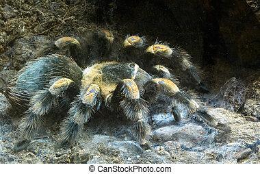 pavouk, chlupatý, big
