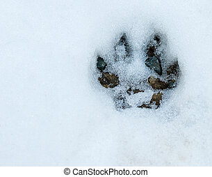 Paw print in the snowy forest floor