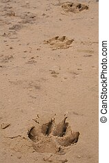 Paw Prints - Paw prints from a large dog along the sand on a...