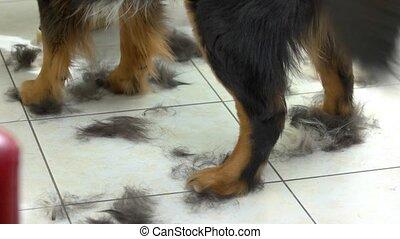 Paws of bernese mountain dog. Fur clippings, pet salon...