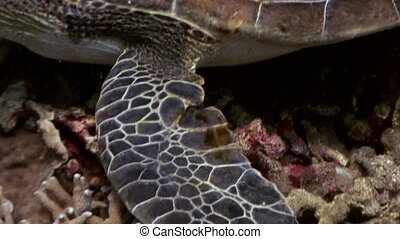 Paws sea turtle on bottom close up underwater of nature Philippines.