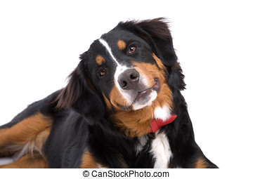 Paying attention - Cute Bernese Mountain dog paying close...