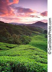 pays montagne, brouillard, levers de soleil, tôt, malaysia., cameron, thé, pahang, plantations, matin