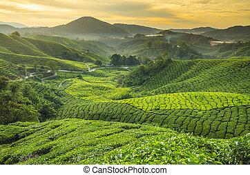 pays montagne, cameron, thé, malaisie, plantation