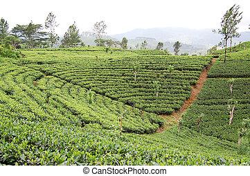 pays montagne, rangées, lanka, tea-plantations, sri