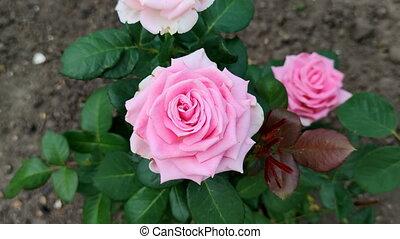 paysage, été, garden., rose