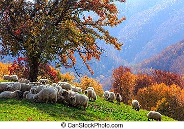paysage automne, mouton, shepard, chien