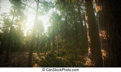 paysage, brumeux, coucher soleil, forêt séquoia