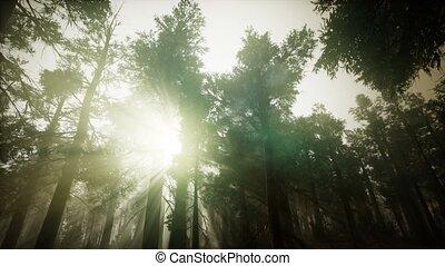 paysage, brumeux, forêt, coucher soleil, séquoia