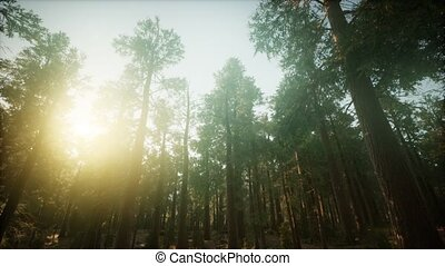 paysage, brumeux, forêt, séquoia, coucher soleil