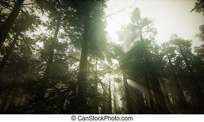 paysage, brumeux, séquoia, coucher soleil, forêt