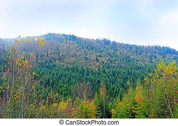 paysage., conifère, spruce., colline, sapin, couvert, forêt