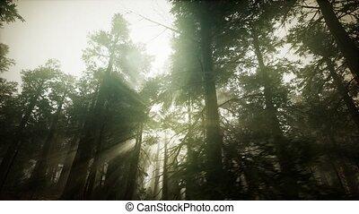 paysage, forêt, brumeux, séquoia, coucher soleil