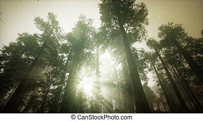 paysage, forêt séquoia, coucher soleil, brumeux