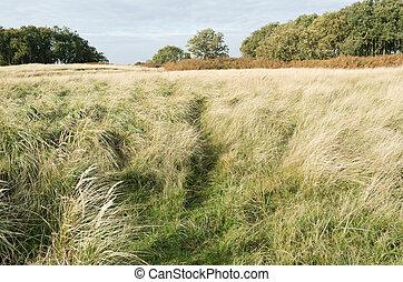 paysage., herbe, marram, dune