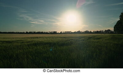 View on the green wheat field in sunset. Nature in spring season evening time. Landscape without people