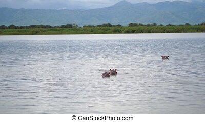 paysage, rivière, groupe, nil, hippopotames