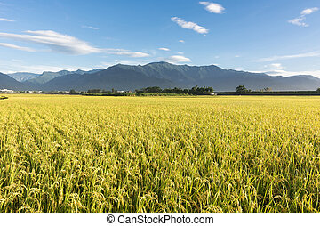 paysage, rural, ferme, paddy