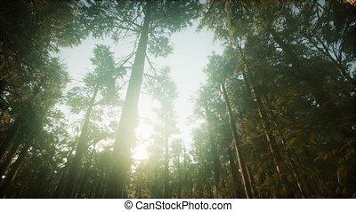 paysage, séquoia, coucher soleil, brumeux, forêt