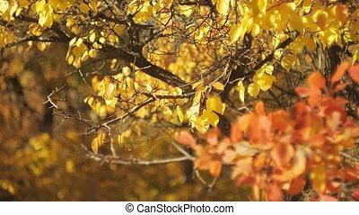 paysage., voyante, feuillage, coloré, effect., multicolore, feuilles, prise vue., bokeh., brouillé, automne, arrière-plan., bokeh, sélectif, forêt, oscillation, foyer., doux, wind.