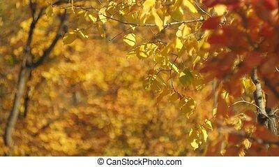 paysage., voyante, wind., coloré, nature, effect., multicolore, feuilles, prise vue., bokeh., brouillé, automne, arrière-plan., bokeh, sélectif, feuillage, forêt, oscillation, foyer., doux
