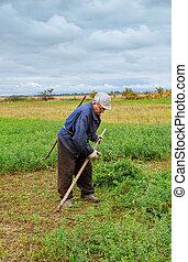 paysan, vieux, vêtements, mows, herbe, dans, les, champ