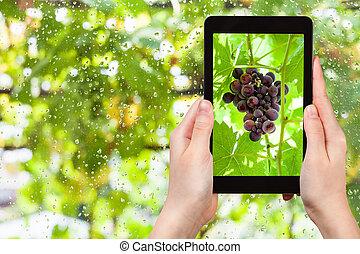 pc, tas, raisins, tablette, rouges