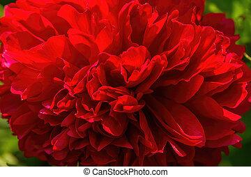 peón, flor del jardín, rojo, florecer, grande