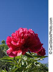 peón, flores, primer plano