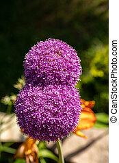 pełny, allium, nasienie, przed, globemaster, kwiat, kwiaty, ...