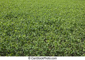 pea field background