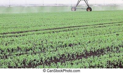 Pea field watering