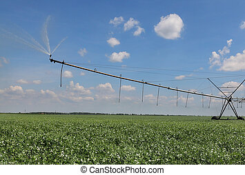 Pea field with watering system