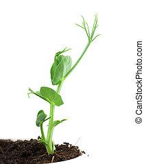 Small pea plant