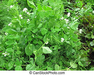 Pea Plant with Flowers - Green pea plant in a garden with...