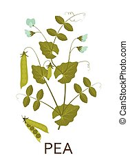 Pea plant with leaves and pods. Vector illustration.