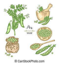 Pea plant with pods and seeds isolated on white background. Hand drawn legumes. Vector illustration.