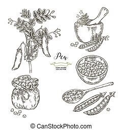 Pea plant with pods and seeds isolated on white background. Hand drawn legumes. Vector illustration engraved.