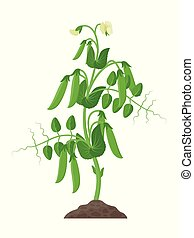 Pea plant with ripe pea pods and flowers growing in the ground vector illustration isolated on white background.