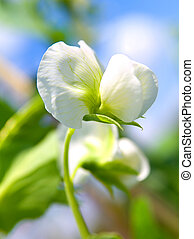 Pea plant with white blooms.