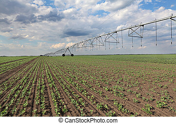 Pea plants in field with watering system