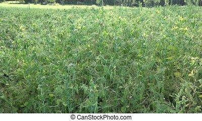 Pea plants move in wind. Rural farm plantation before...
