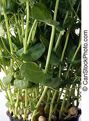Pea sprouts - Fresh pea sprouts