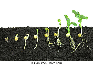 Pea sprouts germinating in soil