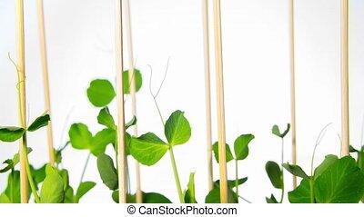 Pea sprouts grow, tilt time-lapse