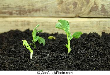 Pea sprouts growing in fertile soil