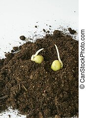 Pea sprouts in soil - Two pea sprouts in soil
