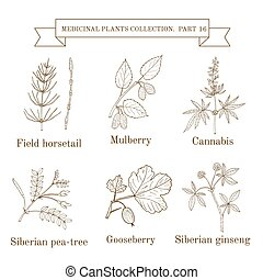 pea-tree, horsetail, ervas, ginseng, vindima, médico, amora, cannabis, siberian, cobrança, mão, campo, gooseberry, desenhado, plantas