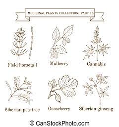 pea-tree, horsetail, urter, ginseng, vinhøst, medicinsk, mulberry, cannabis, sibirisk, samling, hånd, felt, stikkelsbær, stram, planter